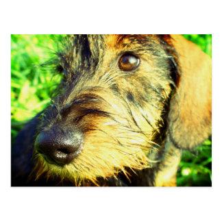 Mas….! - retrato bonito do Dachshund Cartão Postal