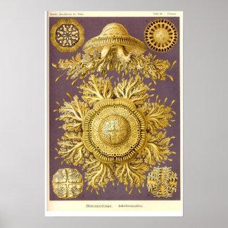 Medusa - Discomedusae - Ernst Haeckel Posteres