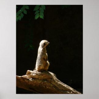 meerkat - fotografia poster