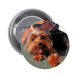 Megohm - Yorkshire terrier Photo-08 Pins