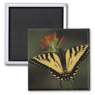 Michigan, lago Houghton. Tigre Swallowtail sobre Imã De Geladeira