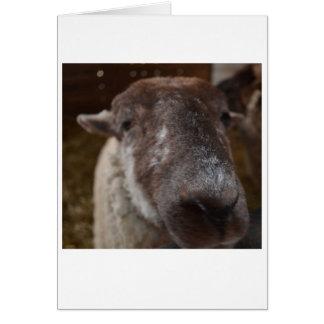 Mick, o cartão de nota dos carneiros da ilha do