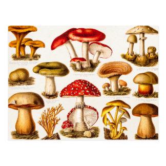 Modelo da variedade do cogumelo dos 1800s do cartão postal