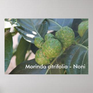 Morinda citrifolia - Noni Poster