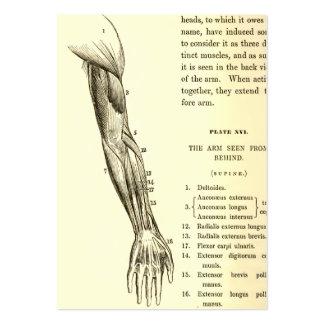 Músculos da anatomia | do vintage do braço (cerca modelos cartões de visitas