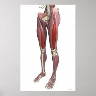 Músculos da coxa poster