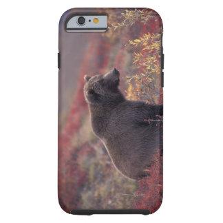 NA, EUA, Alaska, Denali NP. Um urso fêmea Capa Tough Para iPhone 6
