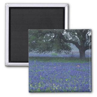 NA, Texas, Devine, carvalho e capotas azuis Ímã Quadrado