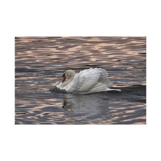 Natação da cisne no por do sol