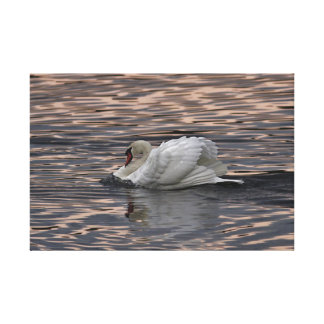 Natação da cisne no por do sol impressão em tela