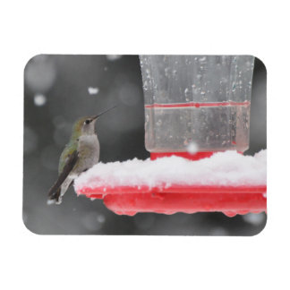 O colibri de Anna na neve Íman