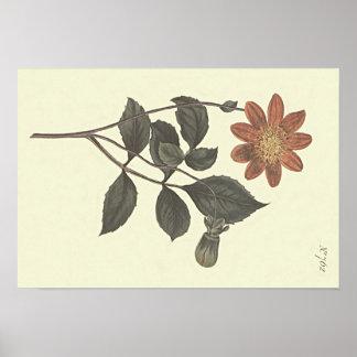 O escarlate floresceu a ilustração botânica da pôster