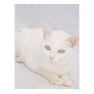 O gato branco pequeno cartão postal