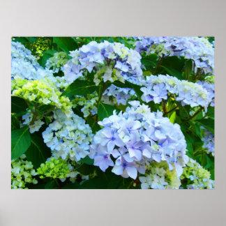 O Hydrangea azul floresce o jardim botânico dos im Pôsteres