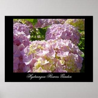O Hydrangea cor-de-rosa floresce os impressões da Poster