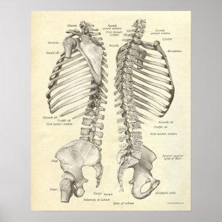 O impressão da anatomia do vintage desossa a