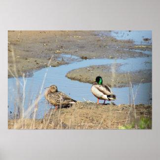 O pato selvagem Ducks a foto Poster