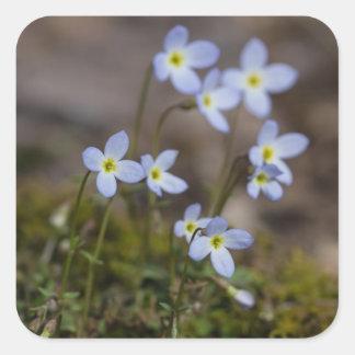 O roxo pequeno de Bluets floresce etiquetas do