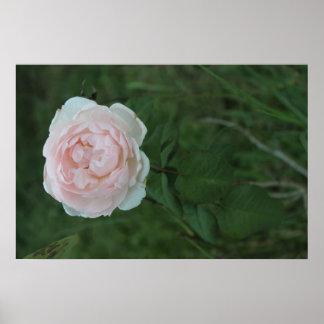 O solteiro aumentou na flor poster