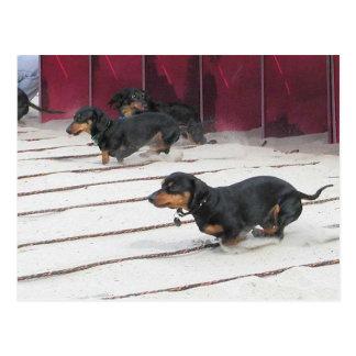 O Wiener persegue raças Cartão Postal