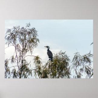 Ornitologia do Cormorant da foto da natureza das Poster