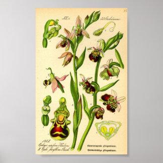 Orquídea de aranha atrasada (fuciflora do Ophrys) Posters