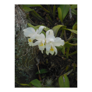 Orquídeas de Cattleya Impressão