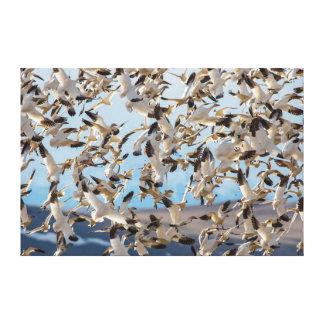 Os gansos de neve enchem o céu após a alimentação impressão de canvas envolvidas