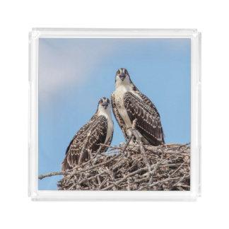 Osprey juvenil no ninho