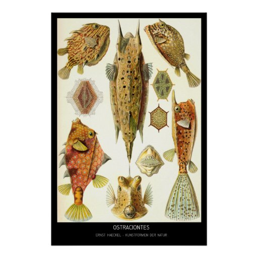 Ostraciontes - placa 42 - der Natur de Kunstformen Posteres