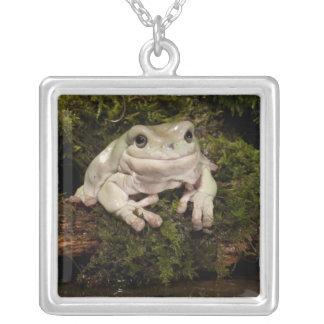 PA central, EUA, White's Treefrog; Litoria Colar Banhado A Prata