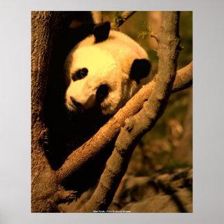 Panda gigante do POSTER, panda gigante - foto…