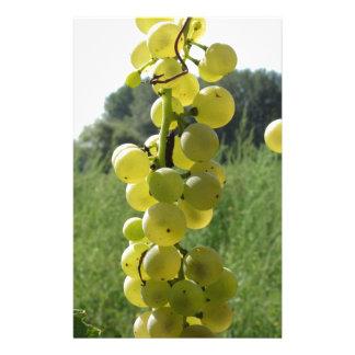 Papelaria Uvas brancas na videira. Toscânia, Italia