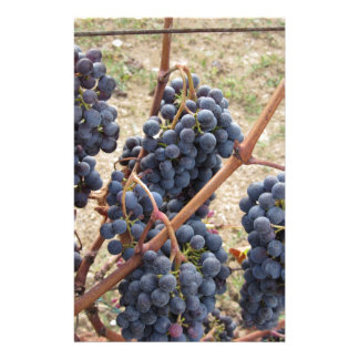 Papelaria Uvas vermelhas na videira. Toscânia, Italia