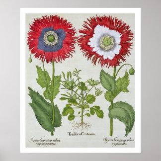 Papoilas decorativas, 'do Hortus o Eystettensis Poster