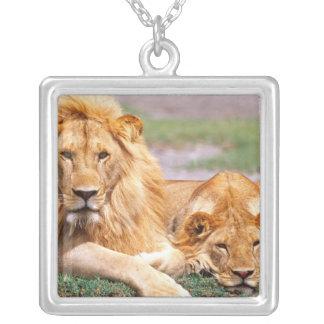 Pares de leões africanos, Panthera leo, Tanzânia Colar Banhado A Prata