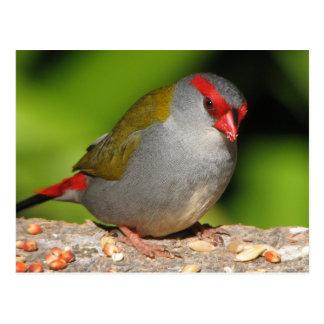 Passarinho Vermelho-Sobrancelhudo australiano de F Cartão Postal