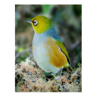 Pássaro de Silvereye