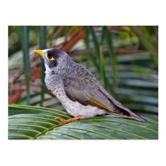 Pássaro ruidoso do mineiro Adelaide Austrália Cartao Postal