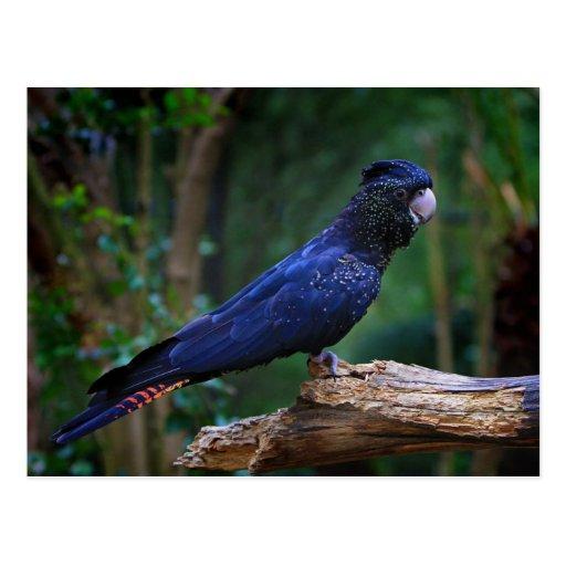 pássaro Vermelho-atado do cockatoo Cartão Postal