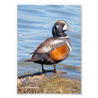 Pato bonito do Harlequin na rocha Impressão De Foto
