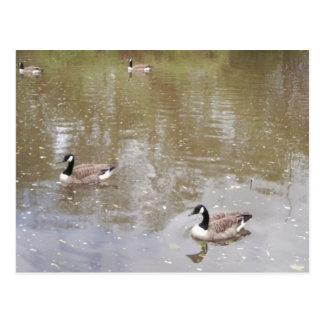 Patos no cartão da foto da lagoa cartão postal