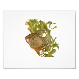 Peixes de água doce do gurami do ouro com verde artes de fotos
