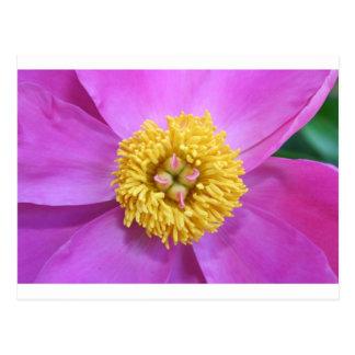 Peônia cor-de-rosa e amarela cartão postal