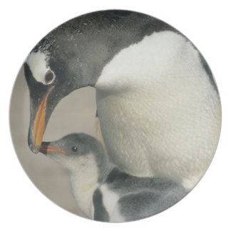 Pinguim de Gentoo, (Pygoscelis papua), adulto Pratos De Festas