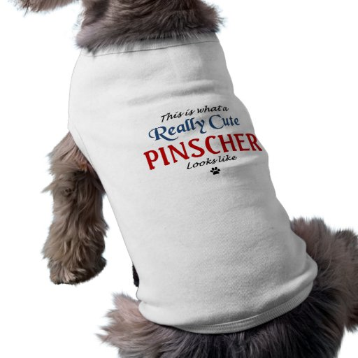 Pinscher bonito roupa para cães