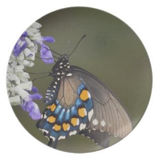Pipevine Swallowtail, philenor de Battus, adulto Pratos De Festas