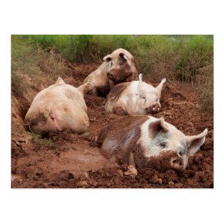 Porcos preguiçosos no cartão da lama cartão postal