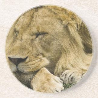 Porta-copos De Arenito Leão africano, Panthera leo, estabelecimento