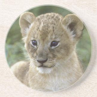 Porta-copos De Arenito Leão, Panthera africanos leo), Tanzânia,